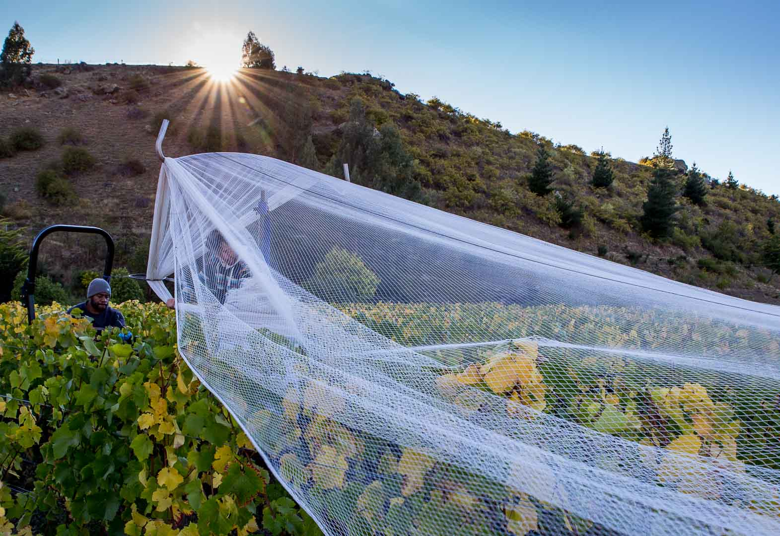 Removing the netting at Georgetown vineyard, Cromwell, Central Otago