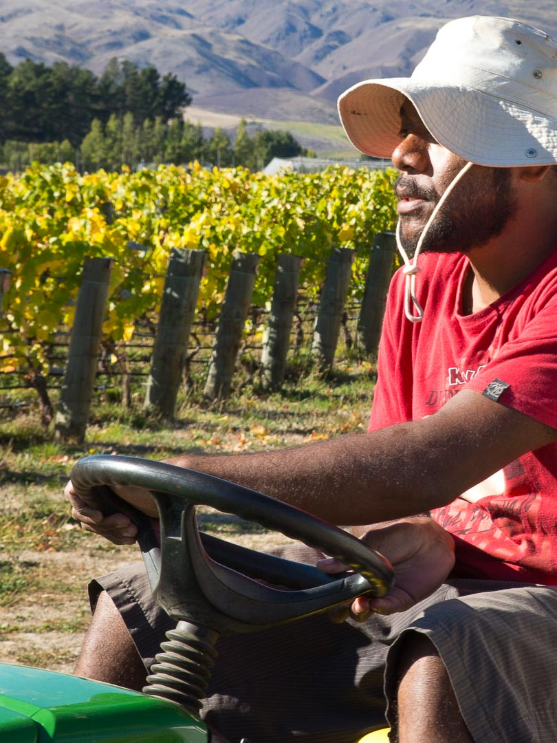 Harvest time at Goergetown Vineyard Central Otago