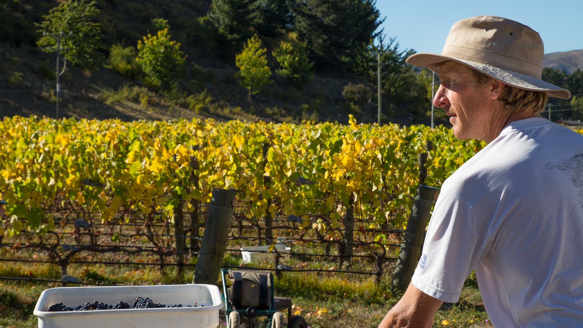 Ian Dee harvesting at Georgetown Vineyard Central Otago